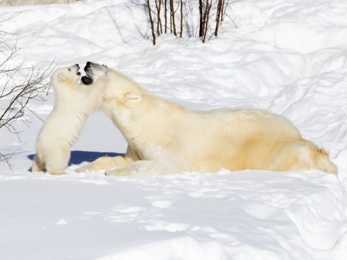 Polar Bears at Ranua Zoo