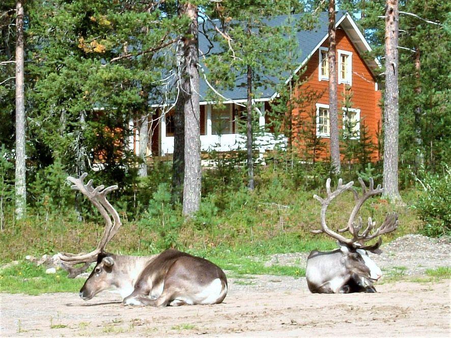 Reindeers resting by the Riekko Chalet